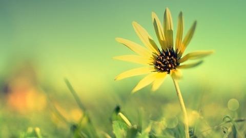 ぼかしイエローの草原に黄色の痩せたガーベラ