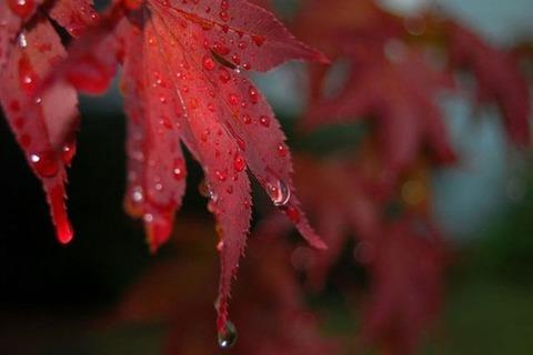 雨に濡れた紅葉20141126