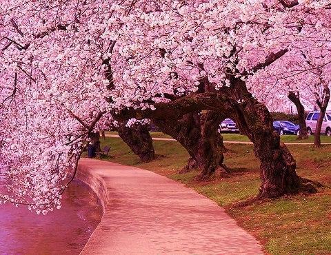 桜大木の並木2014330
