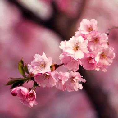 桜・濃いピンクアップ