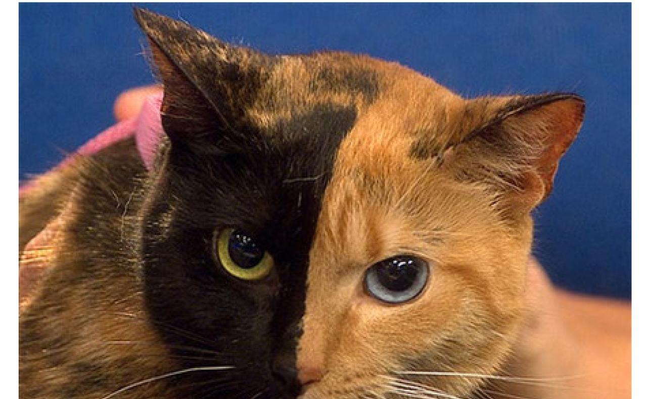 キメラ猫 : 奇形について①・・・二つの顔を持つネコ(キメラ) 放射能なんて怖くない(原発事故、