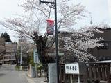 馬場医院の桜