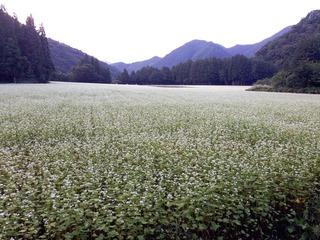 前沢のそば畑2