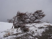 s-23 前白根山山頂近くの木