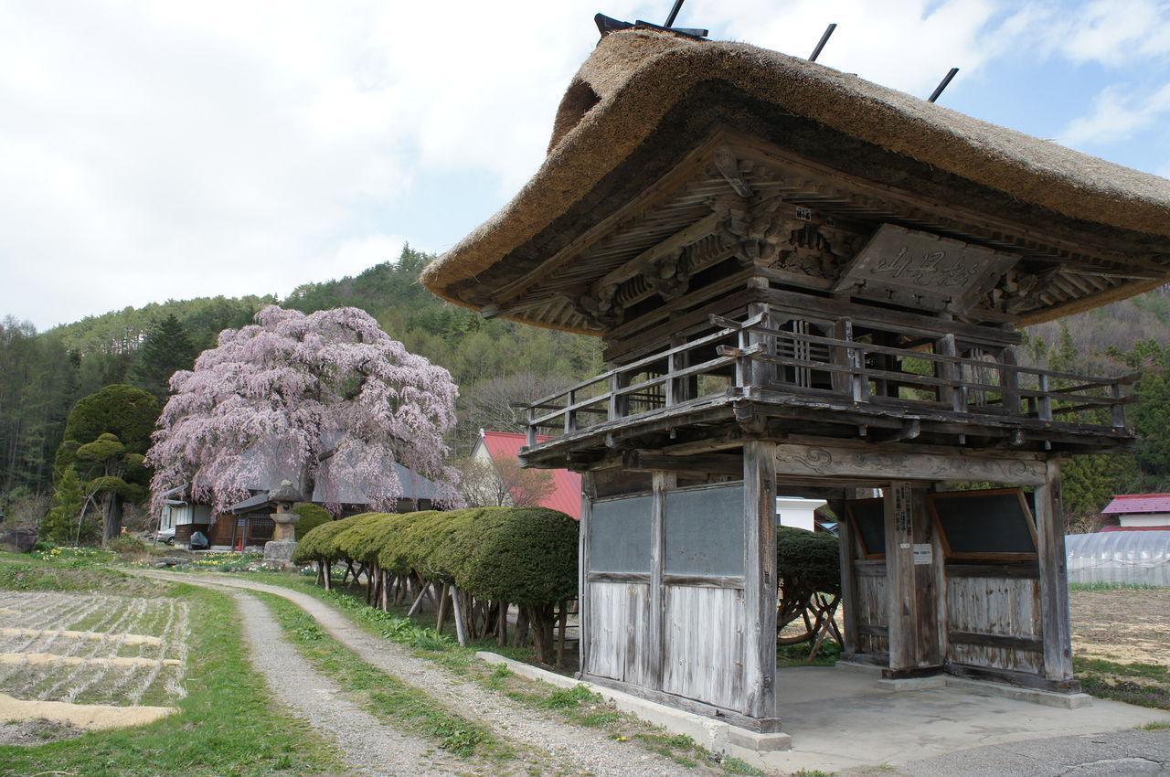 南泉寺の桜見頃です♪ : みなみや...