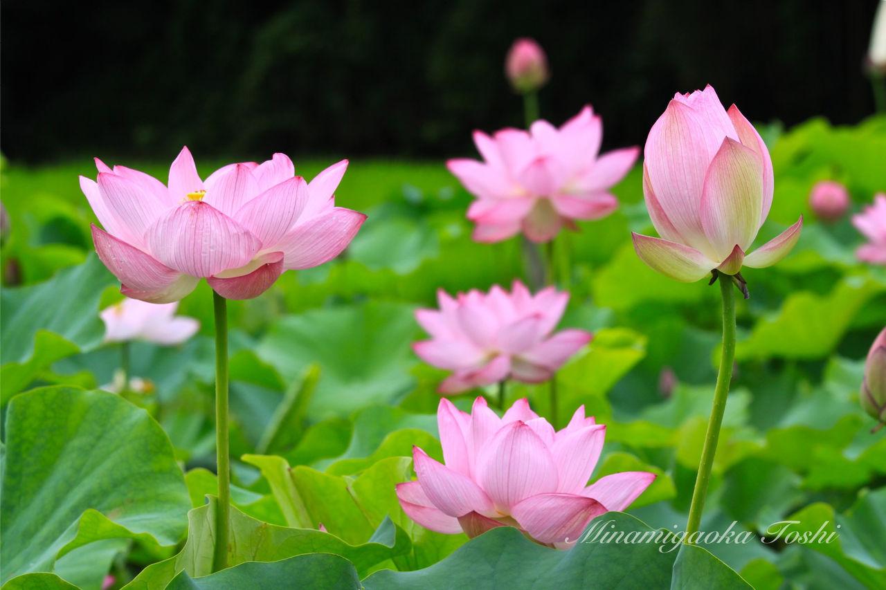 南が丘の風  蓮の花とアマガエルコメントトラックバック                minamigaoka