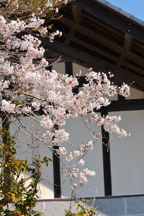 桜満開に笑顔あふれる