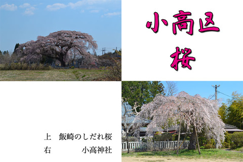 odaka-sakura