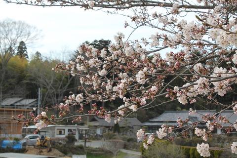 いちばん星の桜が開花しました。