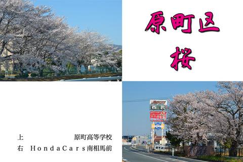 haramachi-sakura