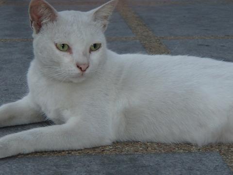 世界の猫スポット―タイ・バンコク/ワット・ファランポーン