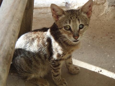 世界の猫スポット―セネガル・ゴレ島