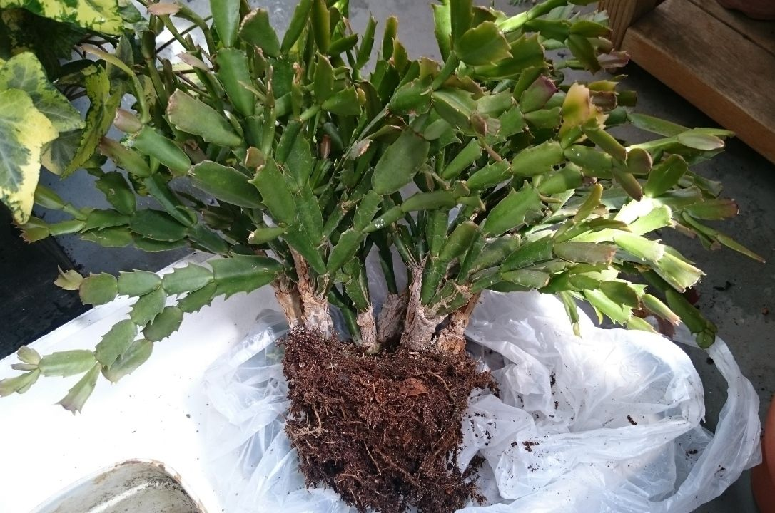 植え 替え シャコバサボテン