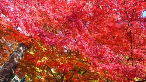 紅葉狩り:栃木県足利市「鑁阿寺(ばんなじ)」の大銀杏は一見の価値有り!
