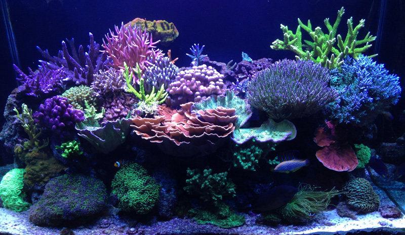 ブラバンとニューヨークのブルースさんの水槽を紹介 べっぴん珊瑚 フェラーリで行く