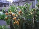 2009.05.10枇杷01