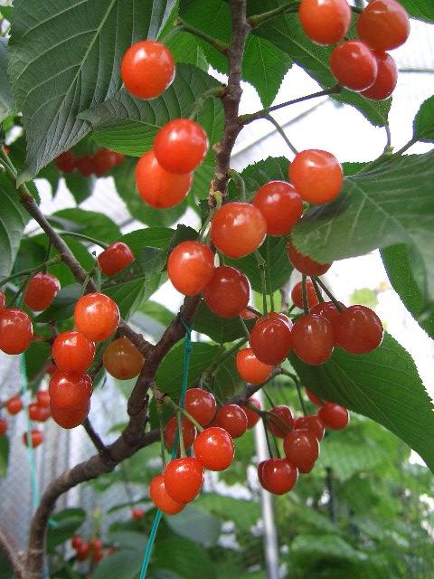 1919の果樹園:暖地桜桃を収穫し...