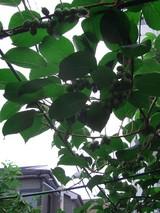 2009.06.14サルナシ01