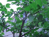 2009.05.10プル−ン02