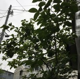 20190704柿の木