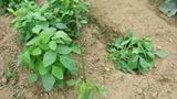 20130619 枝豆が折れました
