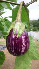 イタリア茄子DSC_1034