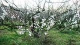 20140131 梅の開花