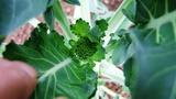 20131101 茎ブロッコリ花芽