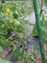 トマトP6030008