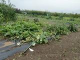 野菜たちCIMG7099