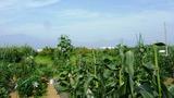 20130711 畑からの富士山2