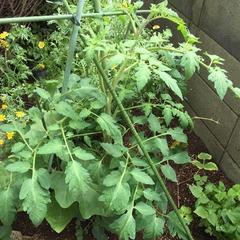 tomatosaien1
