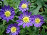 みのる紫4