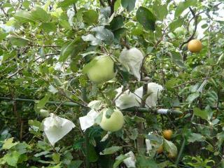 リンゴと梨