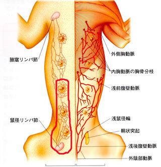 領域乳腺(3~5)