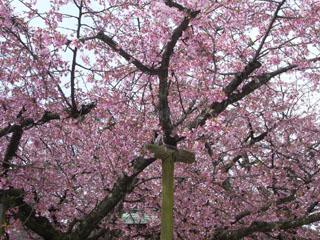 宮地嶽神社の緋寒桜