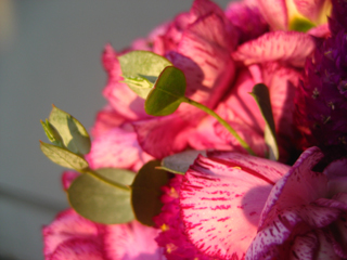 グニユーカリの可愛い芽