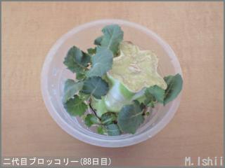 ブロッコリーの芯栽培23