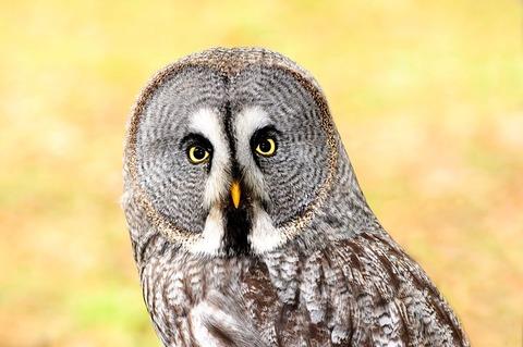 lapland-owl-2010358__480[1]