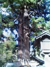 根入りの杉