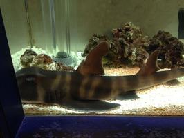 ネコザメ2