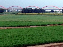 緑のコスモス畑