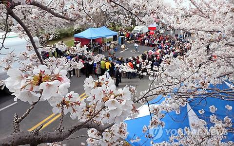 【聯合ニュース】 王桜(染井吉野)をめぐる100年論争…韓中日3カ国に広がったが、「済州が真の原産地」