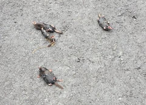 高知県でモグラが大量に地面から出てきて死亡している模様 前兆かとネットで話題
