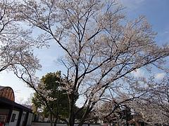 岐阜 各務ヶ原市民公園の桜