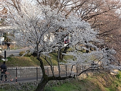 新堤川沿いの桜