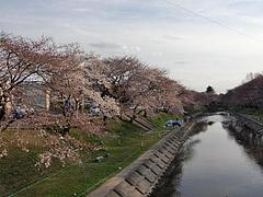 新堤川沿いの桜2