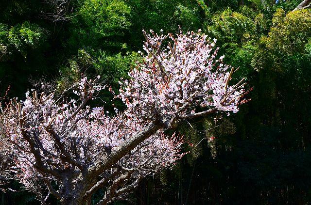 まだ盛りの梅の花
