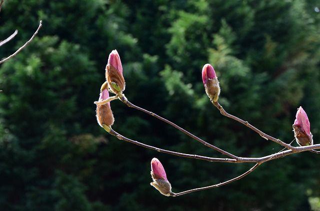 紫木蓮はまだ蕾が多い