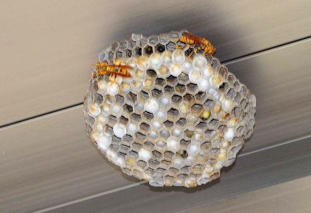 アシナガバチの巣 大きい!